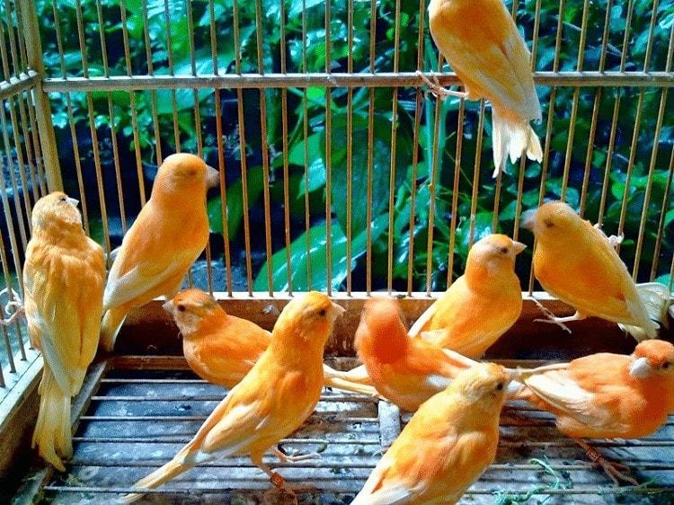 Manfaat Bawang Putih Bagi Burung Kenari