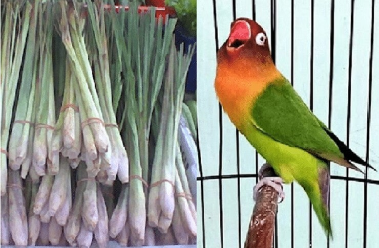 Manfaat Daun Sereh untuk Burung Lovebird