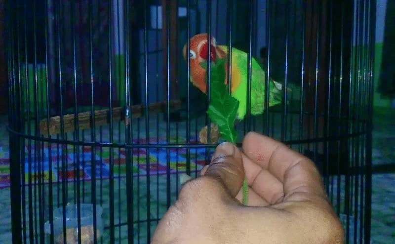 Mengatur Birahi Lovebird Lomba dengan EF
