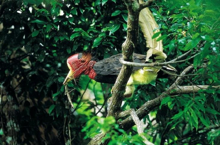 Mengenal Burung Enggang Gading Khas dari Kalimantan