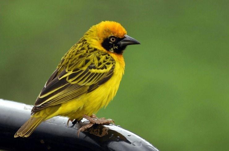 Mengenal Jenis Makanan Burung Manyar Yang Bagus dan Sehat