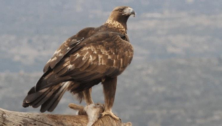 Mengetahui Cara Perkembangbiakan Burung Elang Emas