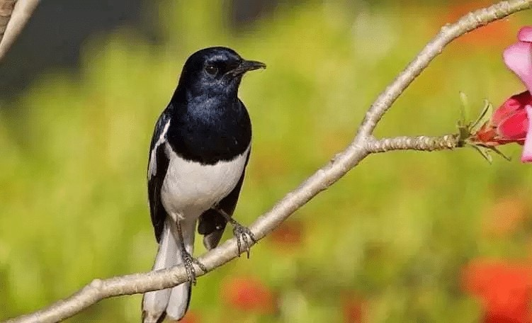 Mengetahui Usia Burung Kacer dari Warna Bulu