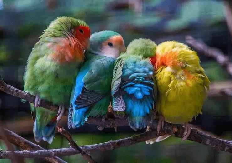 Mutasi Aqua, Turquoise, dan Mutasi Blue Lovebird