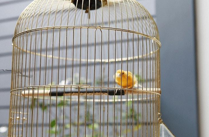Penggantangan Burung Kenari