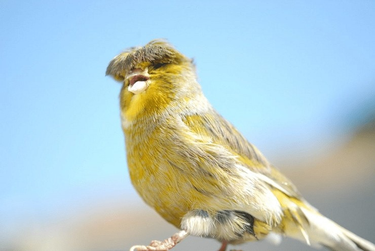 Penjemuran Burung Kenari