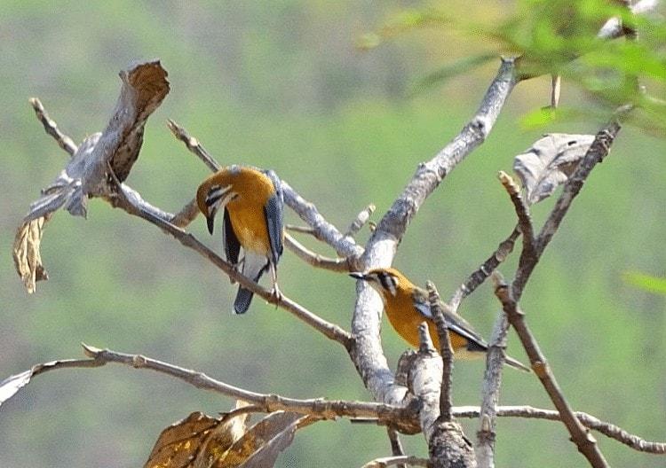 Penyebab Burung Anis Merah Susah Teler