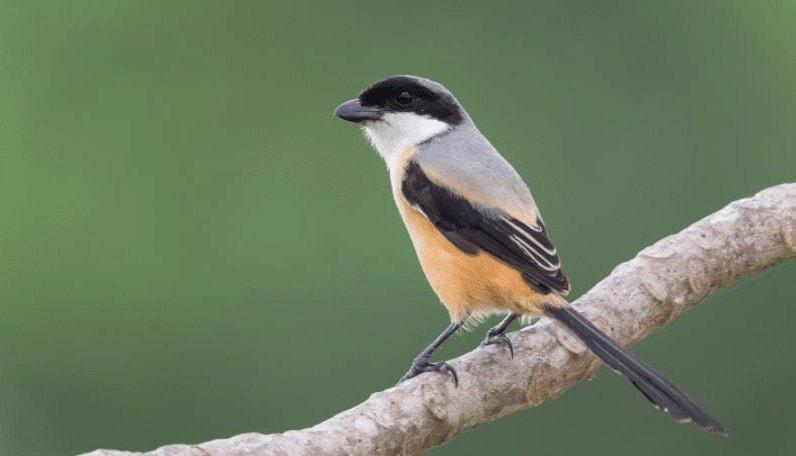 Penyebab Burung Cendet Mengembangkan Bulu