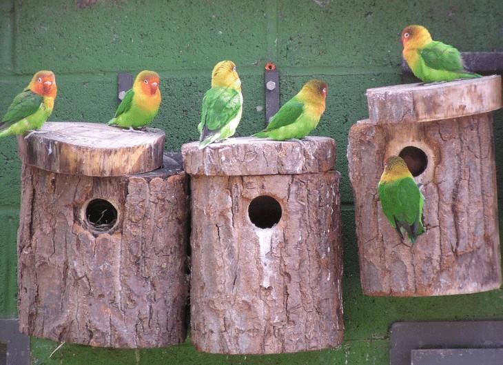 Penyebab Lovebird Sering Keluar Glodok Pada saat Mengeram