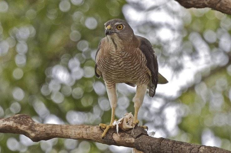 Perilaku Burung Alap-alap Besra