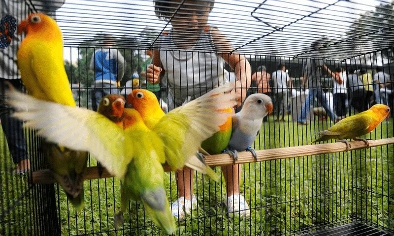 Setingan Harian Lovebird Menjelang Lomba