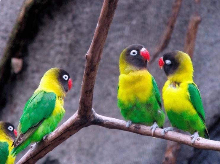 Tips Memilih Vitamin Lovebird yang Bagus