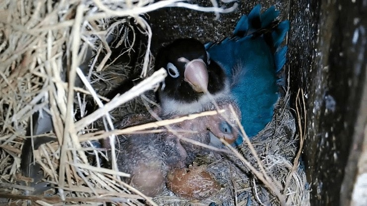 ciri-ciri Lovebird menetas