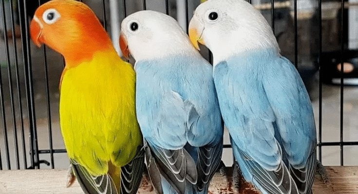 Berbagai Jenis Lovebird Pastel Yang Harus Anda Ketahui