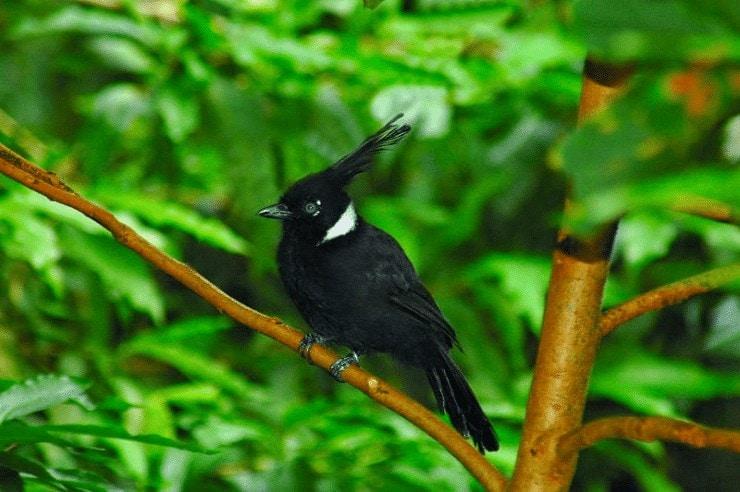 Burung Cililin