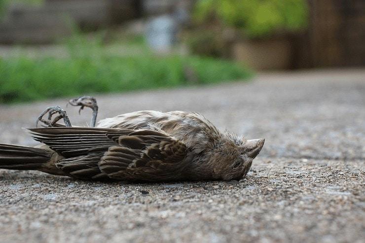 Burung Kicauan Lumpuh