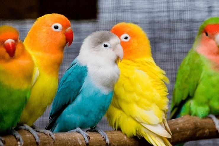 Cara Memaster Lovebird Paud dan Jenis Masteran yang Baik