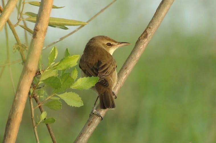 Ciri Khas Burung Kerakbasi Besar, Migrasi Dari Asia Timur 1