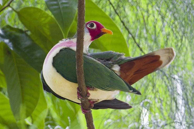 Ciri Khas Burung Walik Jambu dan Daerah Persebarannya