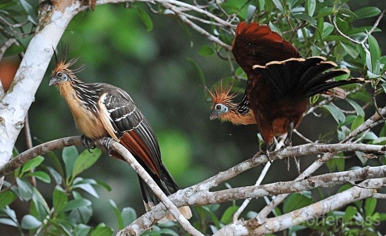 Daerah Persebaran Burung Hoatzin