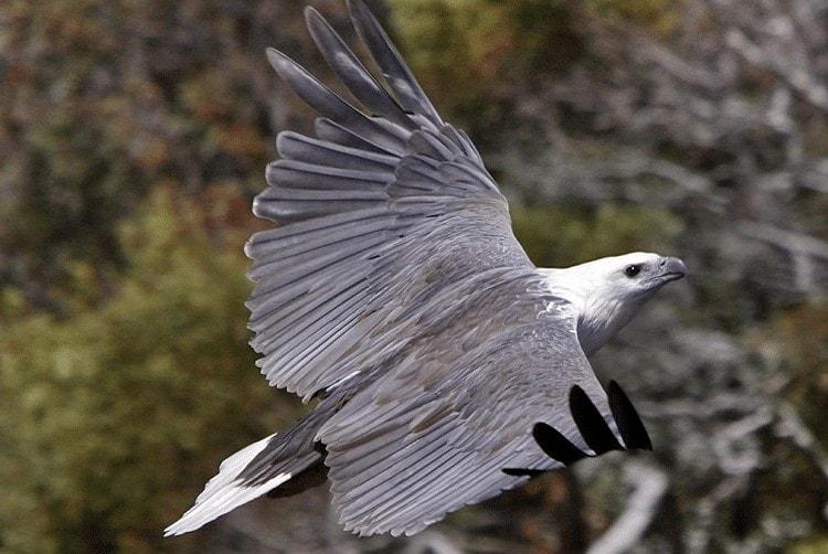 Habitat Burung Elang Laut Perut Putih