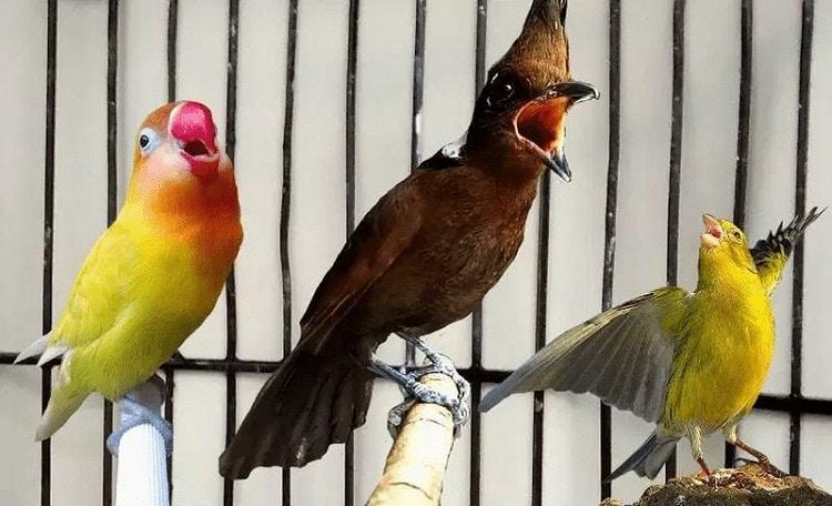 Jenis Masteran Burung Lovebird