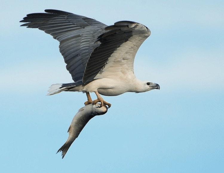 Karakteristik Burung Elang Laut Perut Putih, White Bellied Sea Eagle