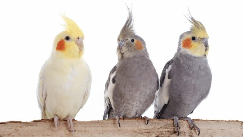 Karakteristik Burung Parkit Australia