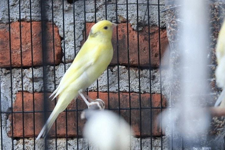 Kelebihan dan Kekurangan Burung Kenari AF