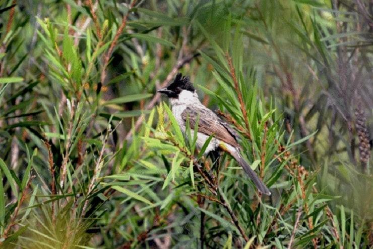 Khasiat Jambu Air Hijau Untuk Burung Kicauan