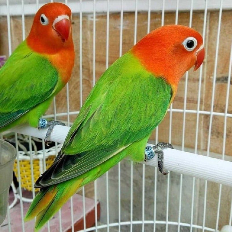 Lovebird Biola Isabella