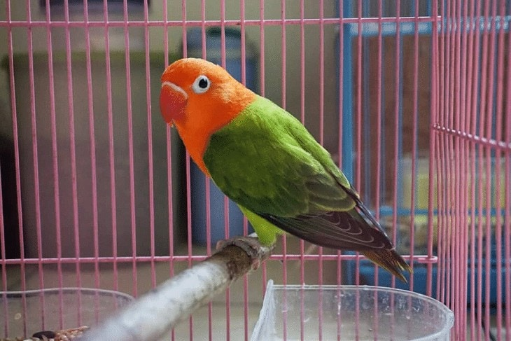 Lovebird Clearpied