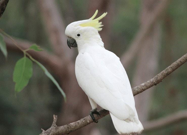 Mengenal Ciri Khas Burung Kakatua Koki (Cacatua galerita)