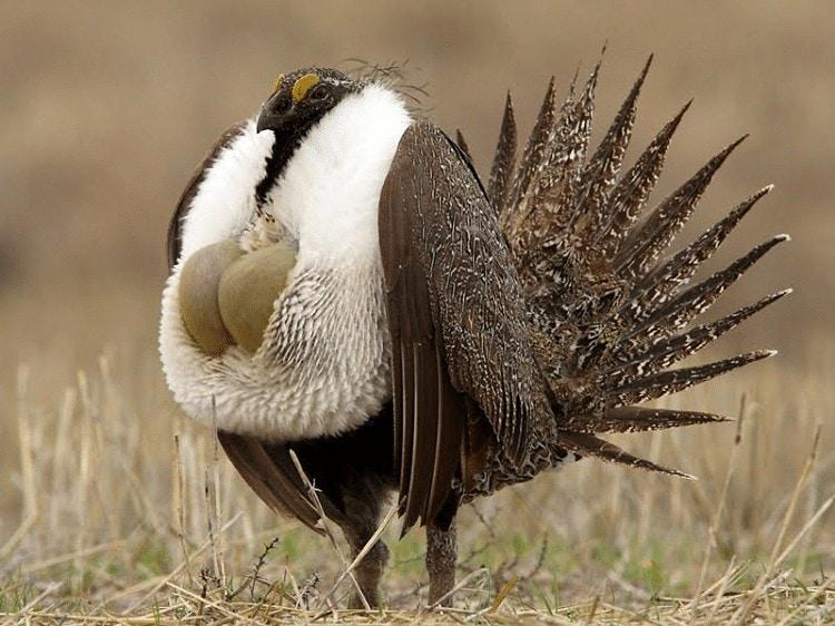 Mengenal Ciri Khas Burung Sage Grouse (Centrocercus urophasianus)