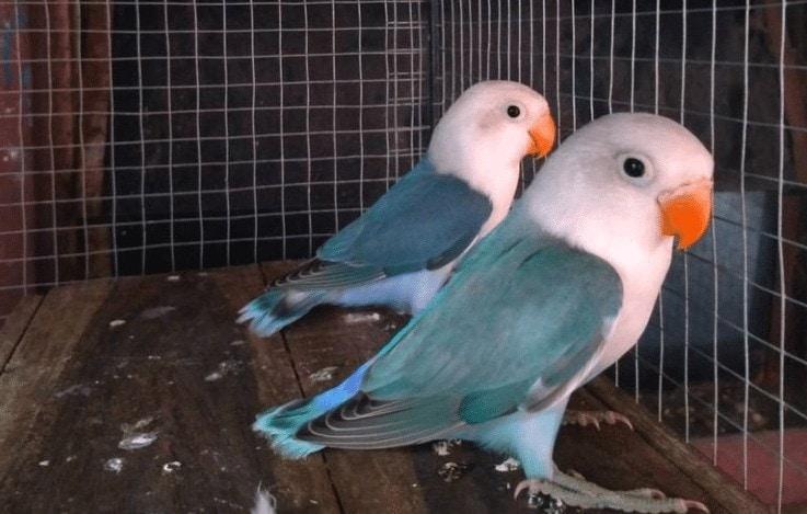 Mengetahui Cara Mengatasi Lovebird Tidak Masuk Glodok