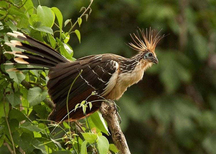 Mengetahui Ciri Khas Burung Hoatzin Si Pemakan Daun