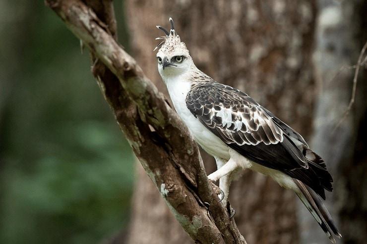 Mengetahui Jenis Burung Elang Brontok atau Changeable Hawk Eagle