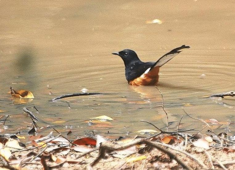 Mengetahui Kelebihan Burung Murai Batu Hutan dan Kekurangannya