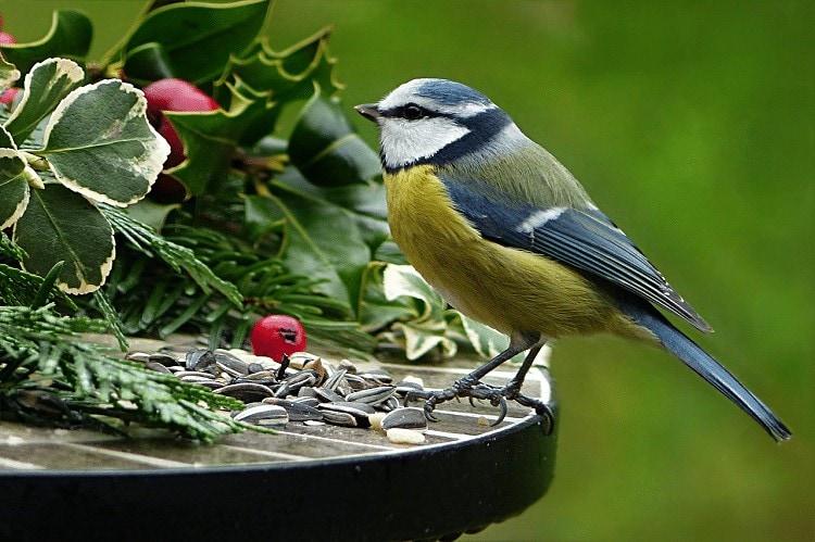Mengetahui Penyakit Alergi Pada Burung Kicauan dan Pencegahannya
