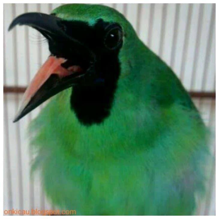 Mengetahui Berbagai Penyebab Burung Cucak Ijo Melet 2