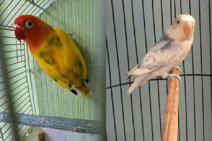 Perbedaan Lovebird Pied, Dompied dan Clearpied