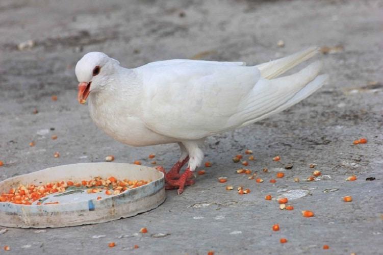 Rekomendasi Makanan Burung Merpati Dan Perawatannya