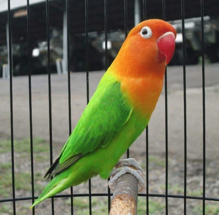 Terapi Lovebird