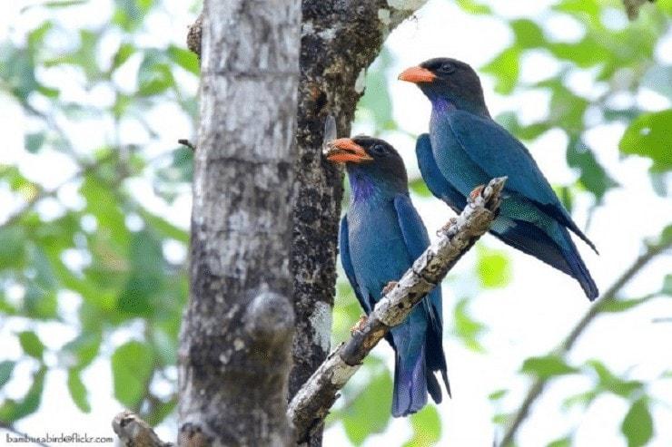 Tips Lengkap Perawatan Burung Tengkek Buto