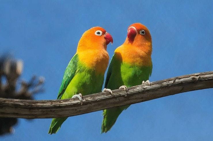 Tips Paling Mudah Mengatasi Lovebird Menggigit Kuku