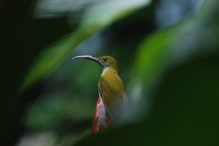 Ciri Fisik Burung Pijantung Gunung dan Daerah Persebarannya 2