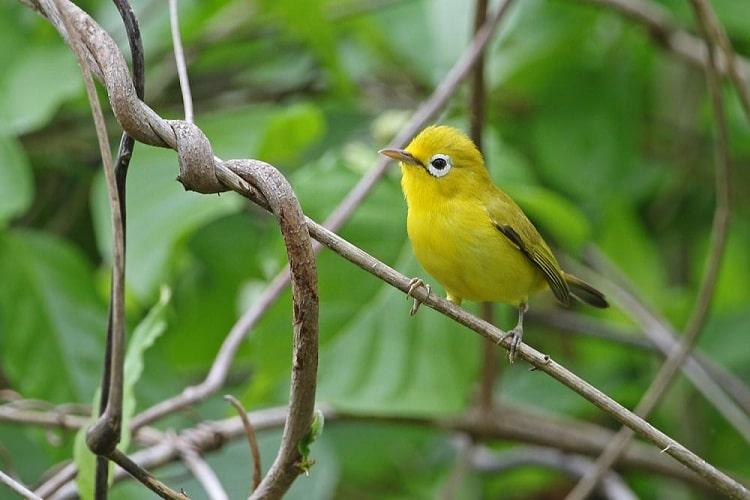 Cara Menjinakkan Burung Pleci Kecial Lombok Paling Mudah 2
