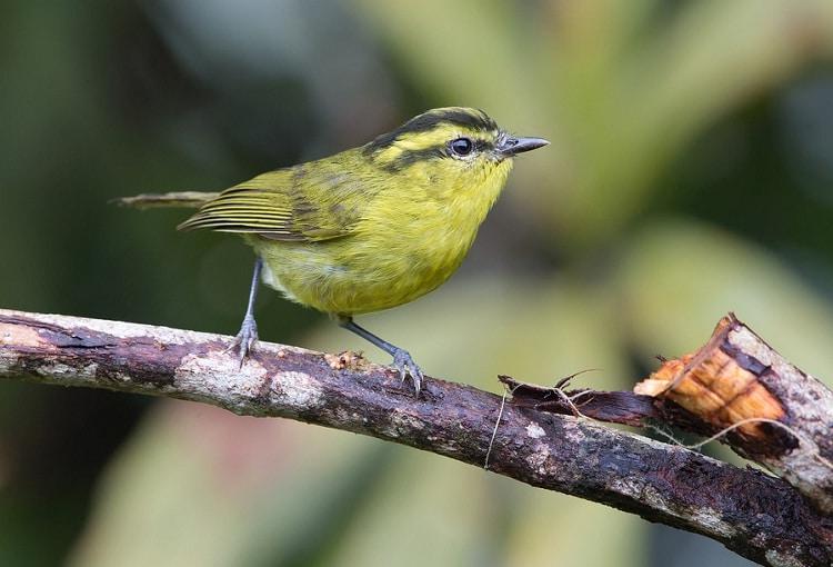 Cara Merawat Burung Pare-Pare Agar Sehat dan Gacor 2