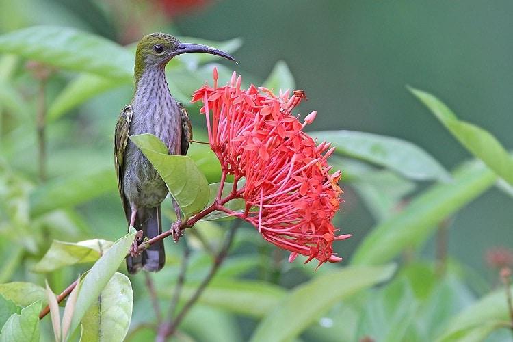 Ciri Fisik Burung Pijantung Gunung dan Daerah Persebarannya 1