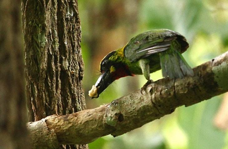 Mengenal Ciri Khas Burung Takur Tulung Tumpuk Dan Habitatnya